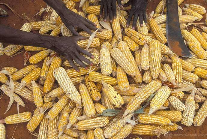A pile of corn cobs