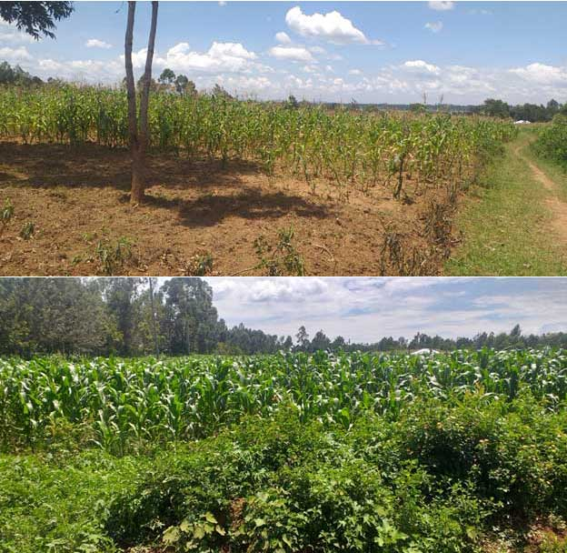 Encouraging crop resilience to climate change in Kenya